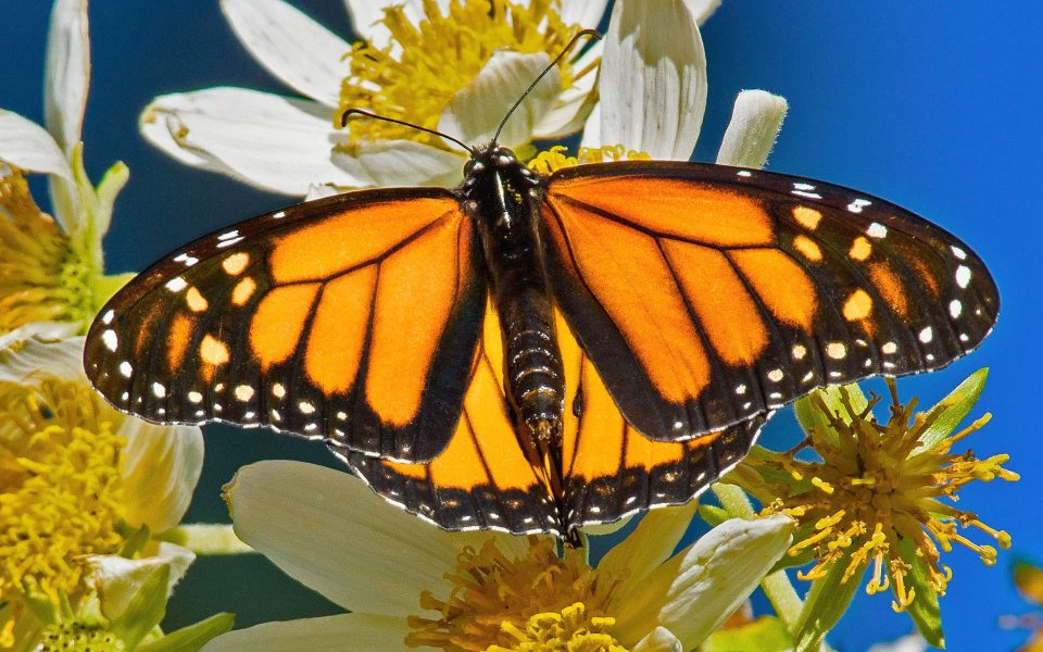 Monarch Butterfly - Julius Kovatch