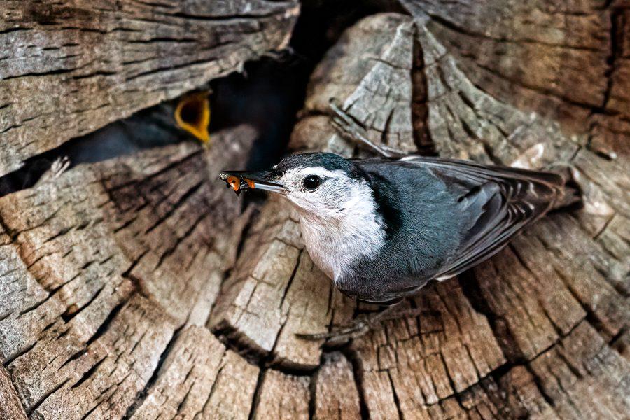 Female Nuthatch Feeding the Kids - Jan Lightfoot