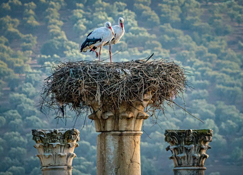 White Storks at Home Volubulis Ruins Morocco - Don Goldman