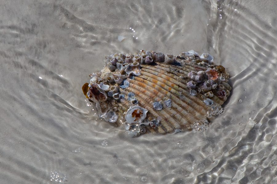 Musselshell with Barnacles - Kristian Leide-Lynch