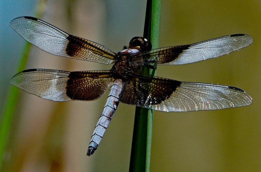 Male Widow Skimmer Watching for Mates - Robert Benson