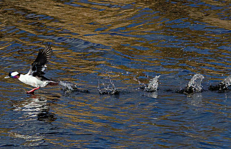 BuffleHead taking off Klamath Falls - Donna Sturla
