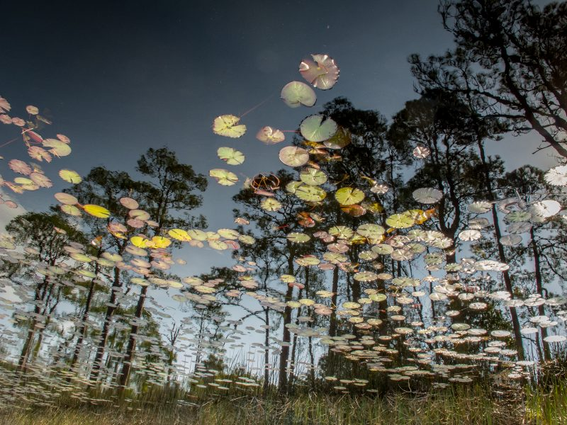 Pine Trees and Water Lilies - Glen Cunningham