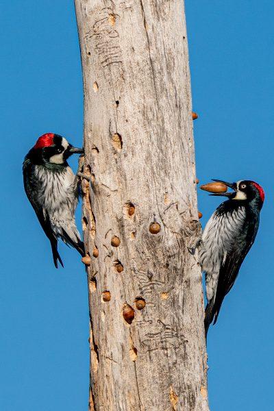Acorn Woodpecker Stash - Deatley Cahill