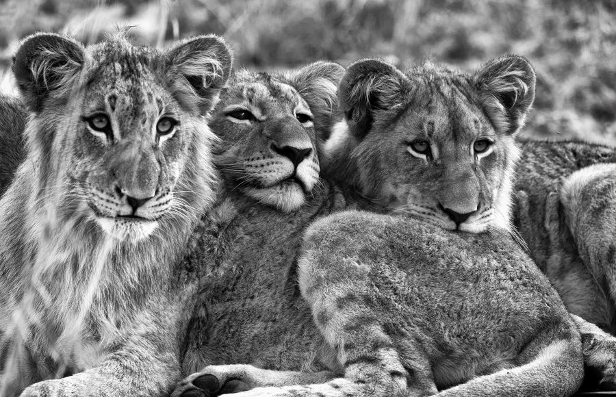 Young Lions at Karongwe Reserve - Pat Honeycutt