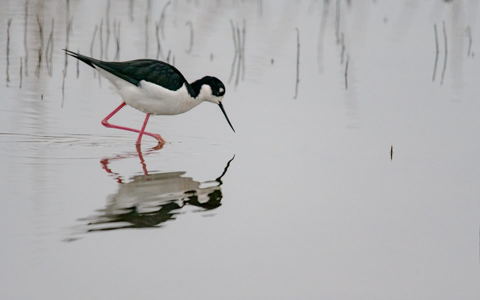 Black Necked Stilt Goes Hunting - Gary Cawood