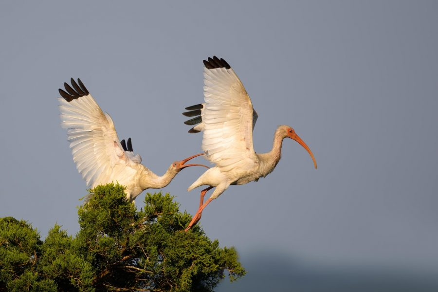 White Ibis pair at sunrise - Hiresha Senanayake