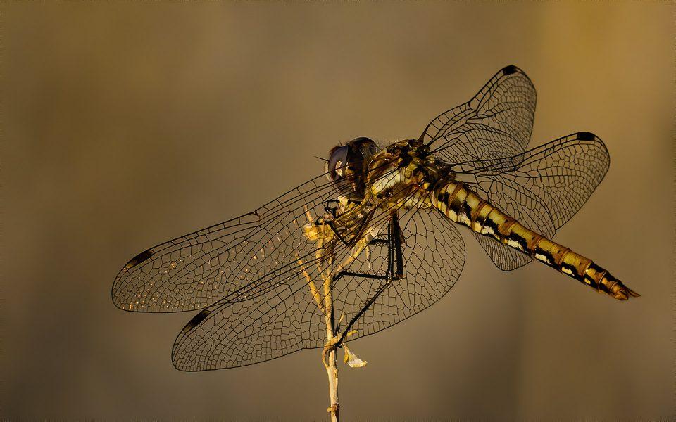 Dragonfly - Truman Holtzclaw