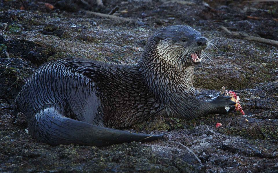 River Otter with fish breakfast - Truman Holtzclaw