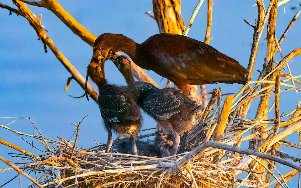 White-faced Ibis Feeding Young - Truman Holtzclaw