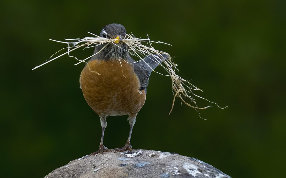 Robin & Nesting Material - Truman Holtzclaw
