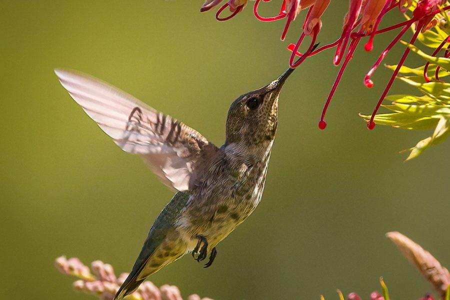 Anna's Hummingbird - Doug Arnold