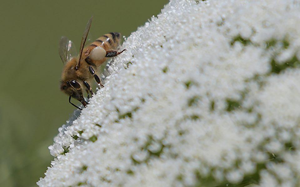 Pollinator - Tod Bice