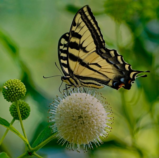 Western Tiger Swallowtail Pollenates Buttonbush - Robert Benson