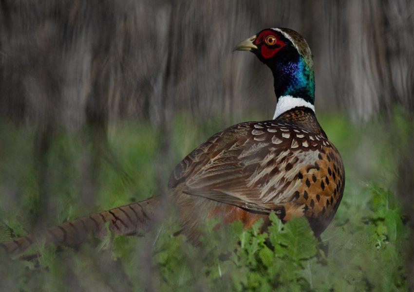 Pheasant Hiding in Grasses SNWP - Donna Sturla