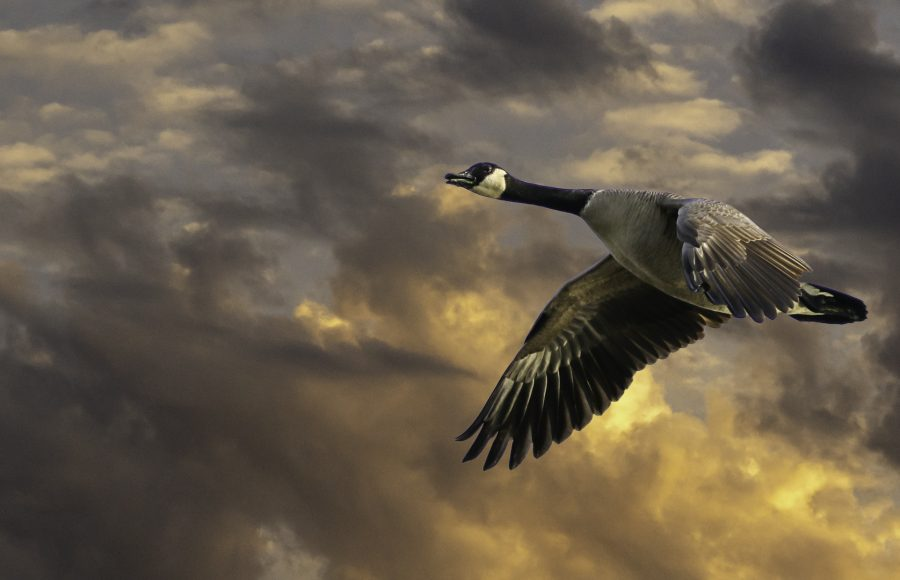 Canada Goose Taking Flight at Sunrise - DeAtley Cahill