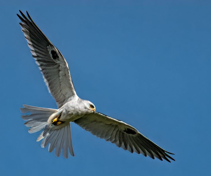 White_tailed Kite In Flight - Don Goldman