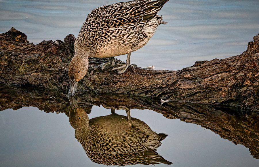 Female Pintail Reflection - Don Goldman