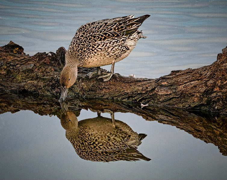 Female Pintail Reflection - Don Goldman