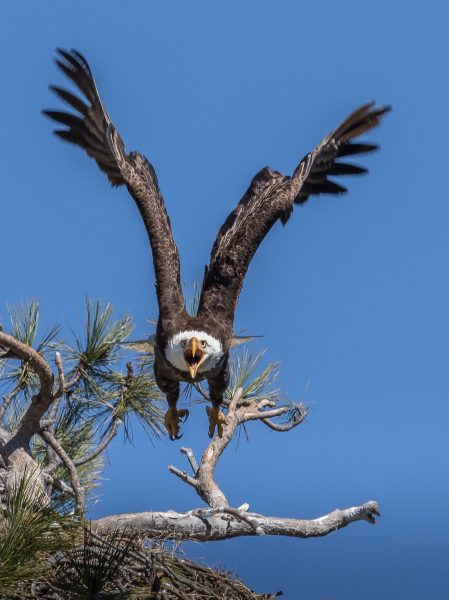 Angry Bald Eagle - Leonard James