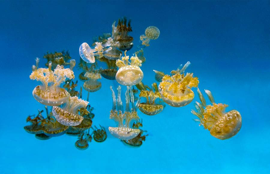 White-spotted Jelly Fish - Gary Cawood