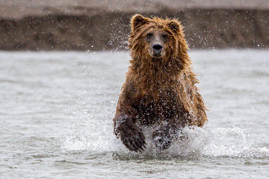 Brown Bear in Pursuit of Salmon - Jan Lightfoot