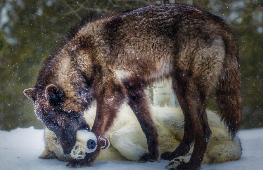 Wolves At Play - Doug Arnold