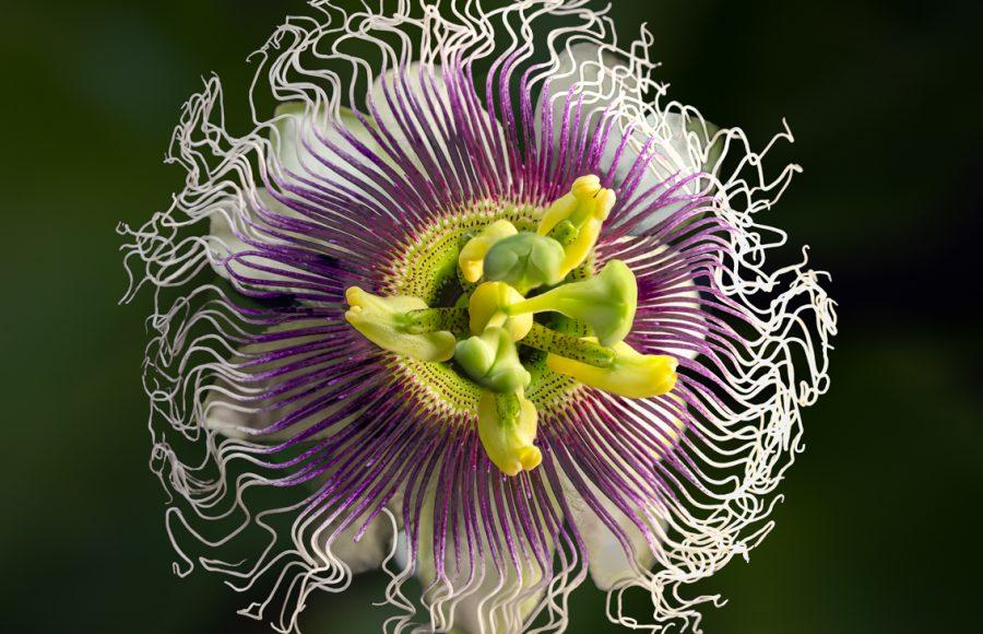 Passion Fruit Flower - Don Goldman