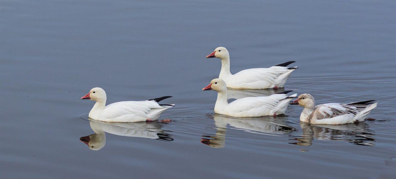 Snow Geese Enjoying A Swim - Laura Berard