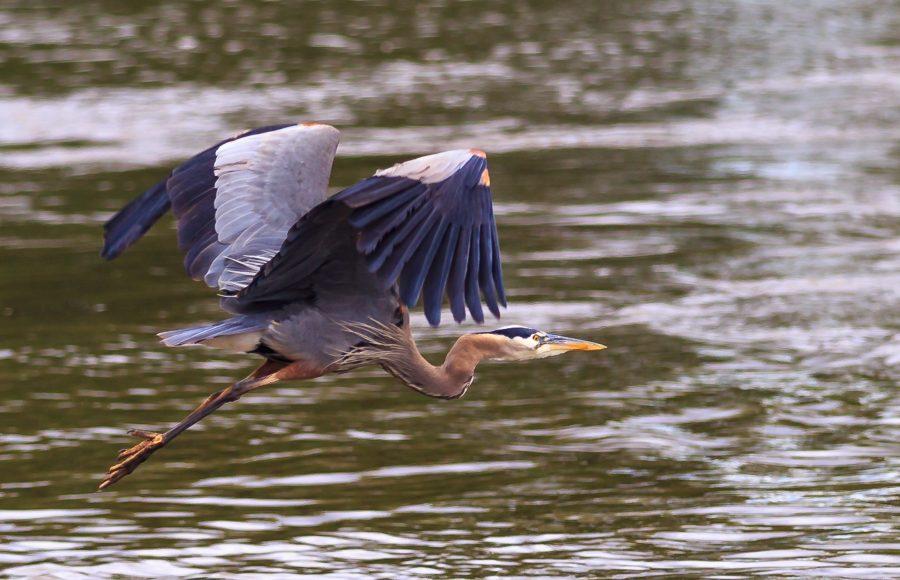 Blue Heron Taking Flight - Doug Arnold