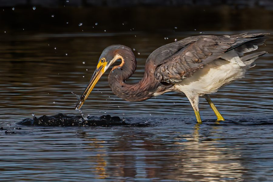 Tricolored Heron Catching Fish - Leonard James