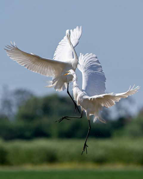 Great Egrets in Territorial Dispute  - Jan Lightfoot