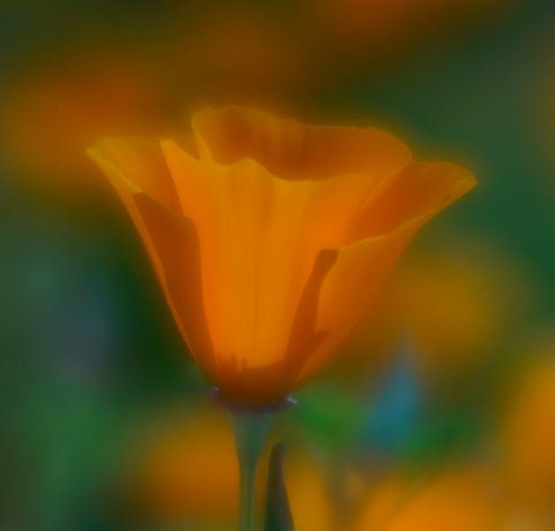 California Poppy - Robert Benson