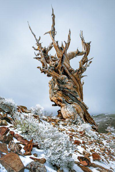 Bristlecone Pine - Jan Lightfoot