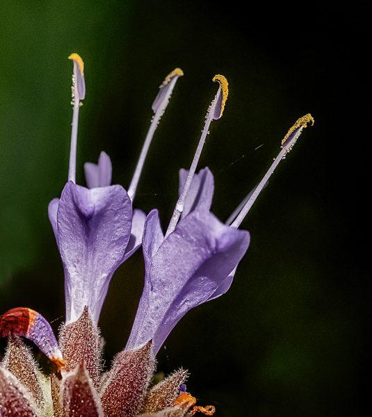 Salvia Clevendii - Joseph Finkleman