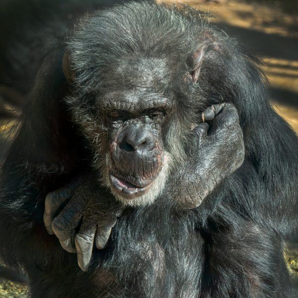 Sad Old Chimpanzee - Gert van Ommering