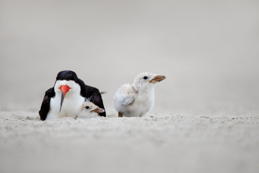 Black Skimmer Mother and Chicks - Hiresha Senanayake