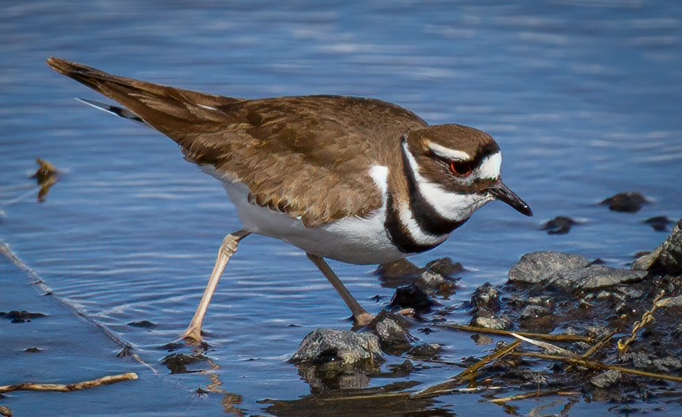 Killdeer looking for something to eat - Kristian Leide-Lynch