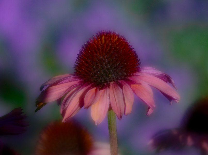Cone Flower Soft Focus - Robert Benson