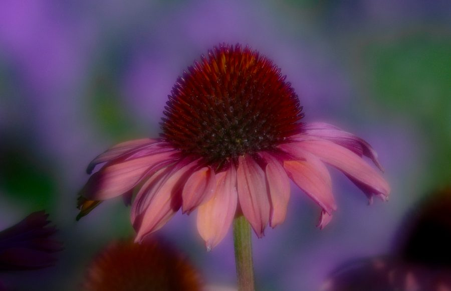 Cone Flower Soft Focus - Robert Benson