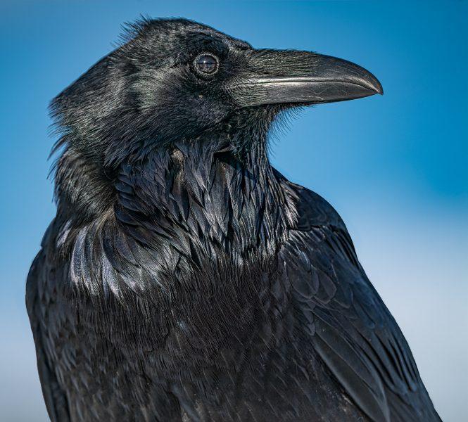 Raven - Don Goldman