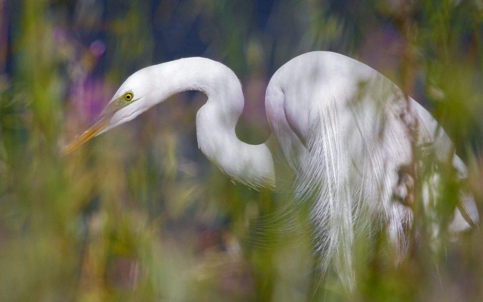 Egret Hunting in Tall Grasses - Jan Lightfoot