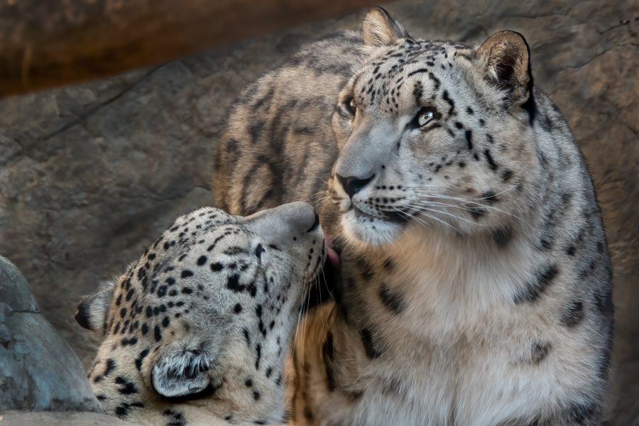 Snow Leopard Grooming His Mom - Gert Van Ommering