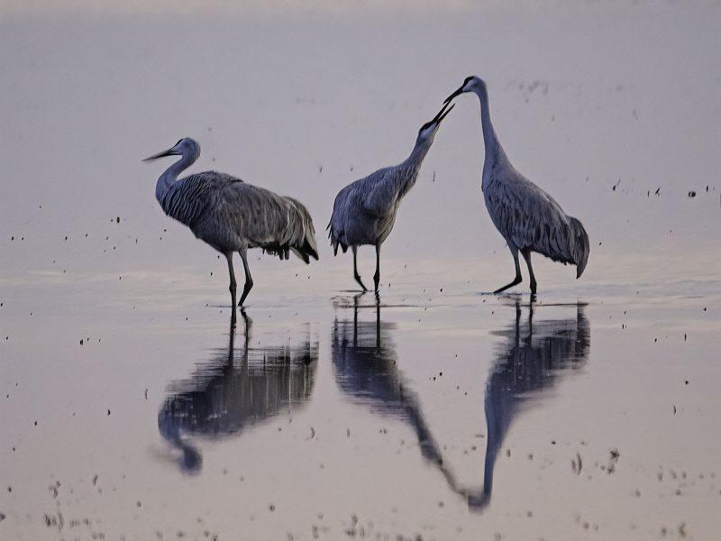 Loving Cranes - Donna Sturla