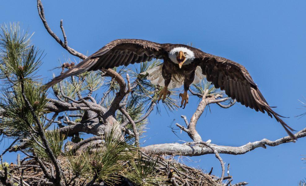 Angry Eagle Delivering Warning - Leonard James