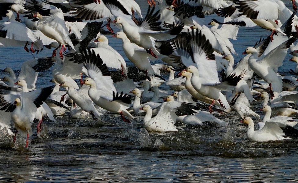 Snow Geese Take Flight - Robert Benson