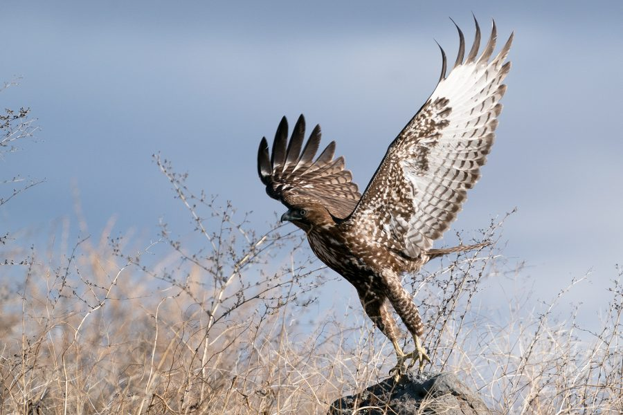 Red-tailed Hawk takes flight - Tod Bice