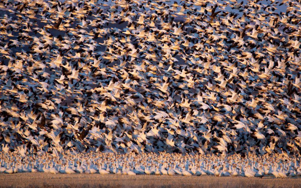 Snow Geese in Flight and Preflight - Jan Lightfoot