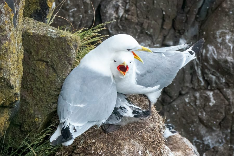 Kittiwakes Protecting their Chick from an Intruder - Gert Van-Ommering