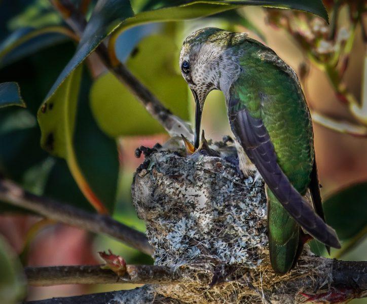 Blackchinned Hummingbird Feeding Nestling - Leonard James